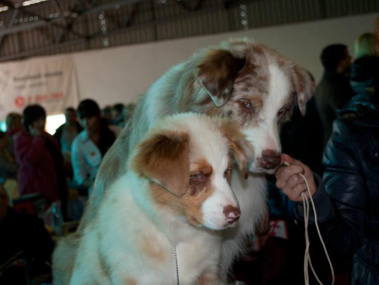 Выставочные успехи наших собак - 4 - Страница 38 100222-83c54-72681700-m750x740-ufeb6f