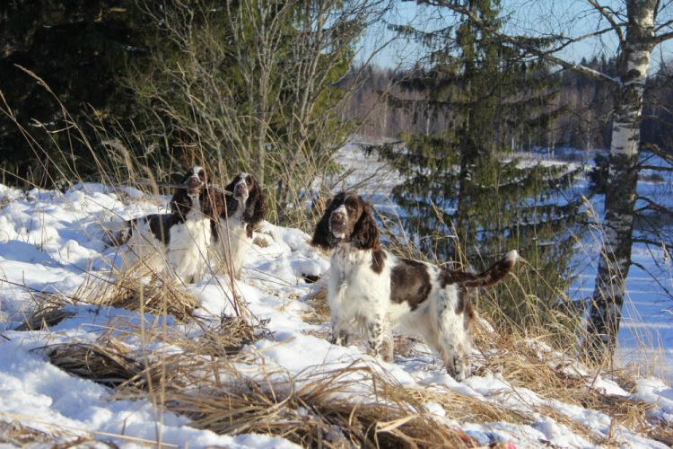 Спрингеры Foxberryhill's -Saima, Kaj, Gerda, Lotta, Connie, Violetta - Страница 12 194947-6ee88-75573483-m750x740-ub5055